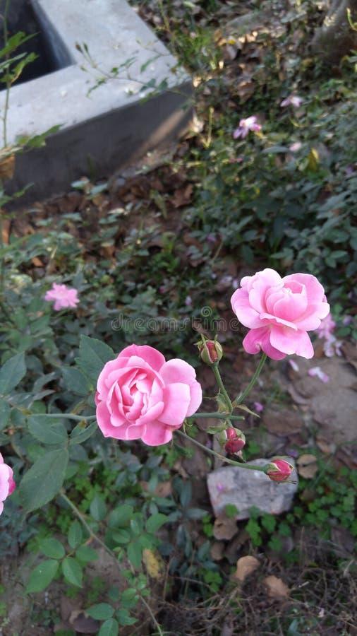 Rosen arkivbild