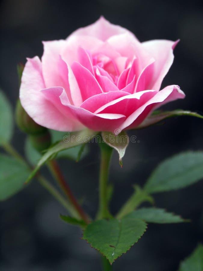 Rosen sind rosafarben lizenzfreies stockbild