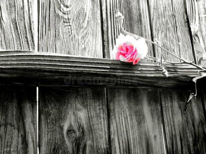 Rosen sind rosafarben stockbild