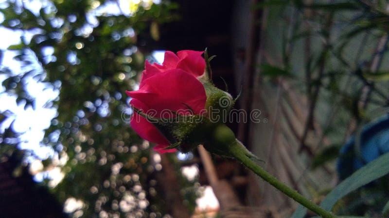 Rosen sind rot, aber diese ist nicht stockbild