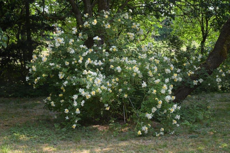 Rosen-Strauch Christine Helene mit kleinen gelben und weißen Blumen auf den langen panicles, blühend mehrmals während des Sommers stockfotos