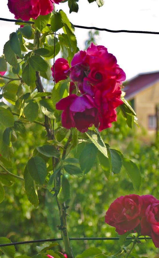 Rosen te steg, den röda rosen, trädgård steg, landet steg arkivbild