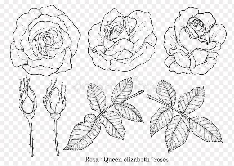 Rosen-Vektor eingestellt eigenhändig zeichnen lizenzfreie abbildung
