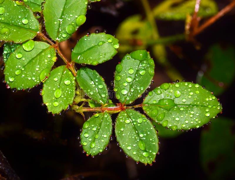Rosenblätter mit Wassertröpfchen stockfotos