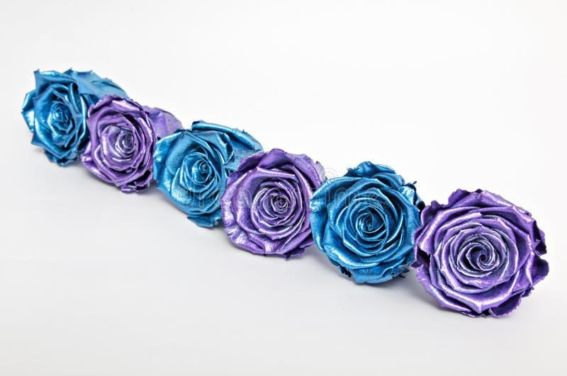 Rosenblauer und violetter Rose, isoliert auf Weiß stockbilder