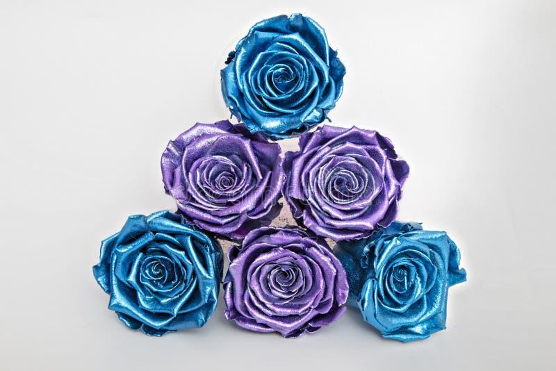 Rosenblauer und violetter Rose, isoliert auf Weiß stockfoto