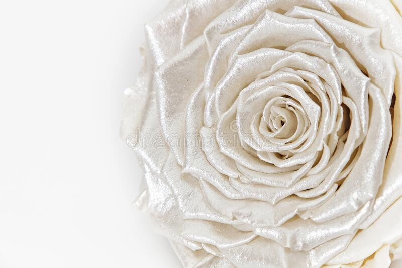 Rosenblume, perlmuttfarbene, auf Weiß isolierte Blüte stockfotos