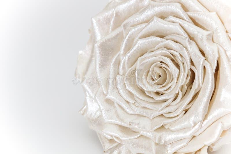Rosenblume, perlmuttfarbene, auf Weiß isolierte Blüte lizenzfreie stockfotografie