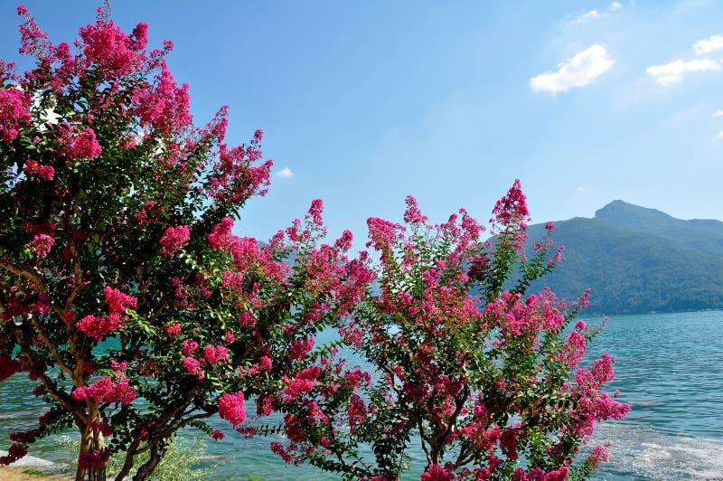 Rosenbusch auf der Bank des Sees, die Schweiz stockbild