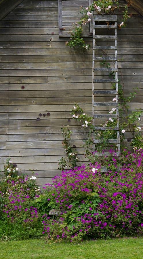 Rosenbusch, der eine Strichleiter steigt lizenzfreie stockbilder