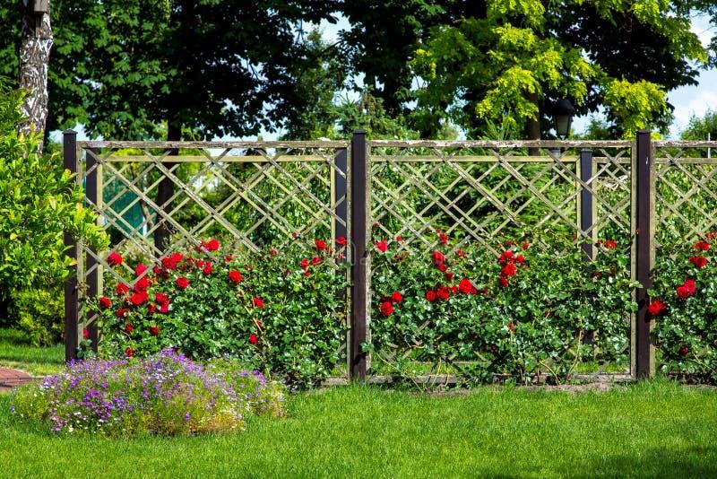 Rosengarten von den roten Rosen, die gepflanzt werden und auf einem Bretterzaun gewachsen sind stockfoto