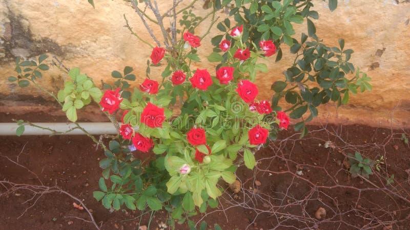 Roseplant rosso fotografia stock