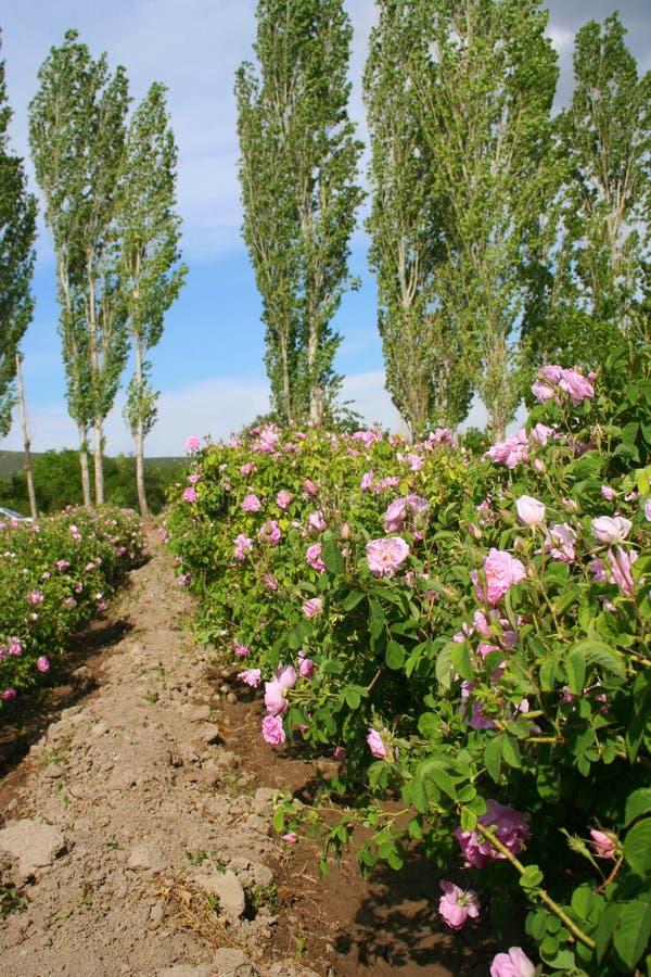 Roseraie photo libre de droits