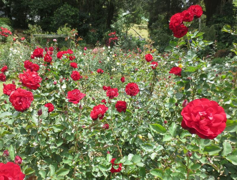 Roseraie rouge photographie stock libre de droits