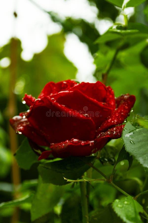 Roseraie rouge isolée sur fond vert photographie stock libre de droits
