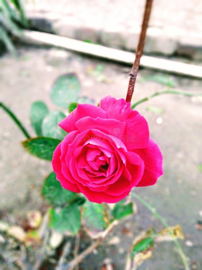 RoseRose玫瑰爱生活自然美丽的花 免版税图库摄影