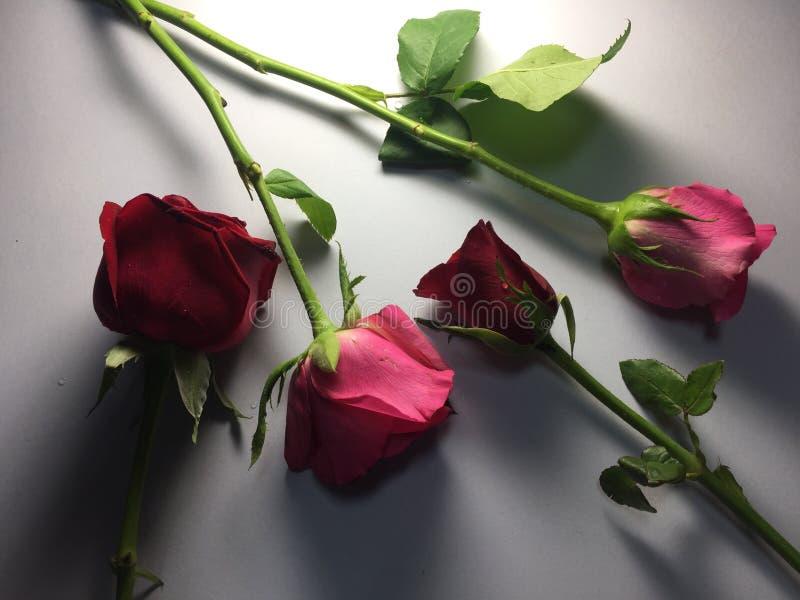 Roserose fotos de stock royalty free