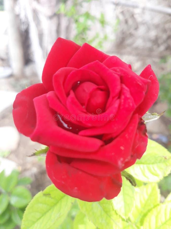 Roserose imagem de stock
