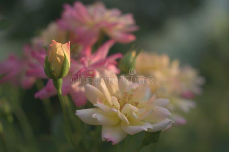 Roses à la lumière de coucher du soleil image libre de droits
