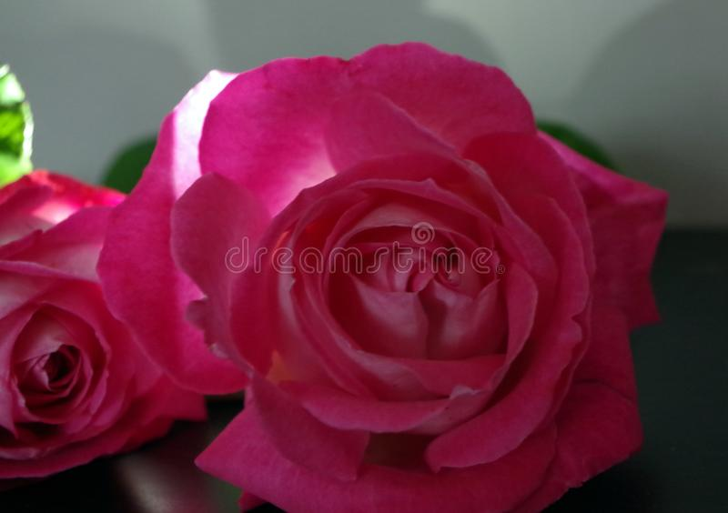 roses photo stock