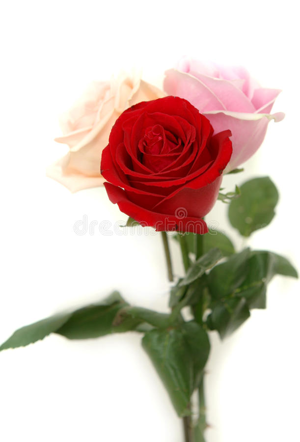 Roses. Beautiful red and pink roses stock images