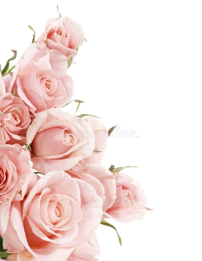 Roses. Beautiful Roses Border.Isolated on white royalty free stock photography