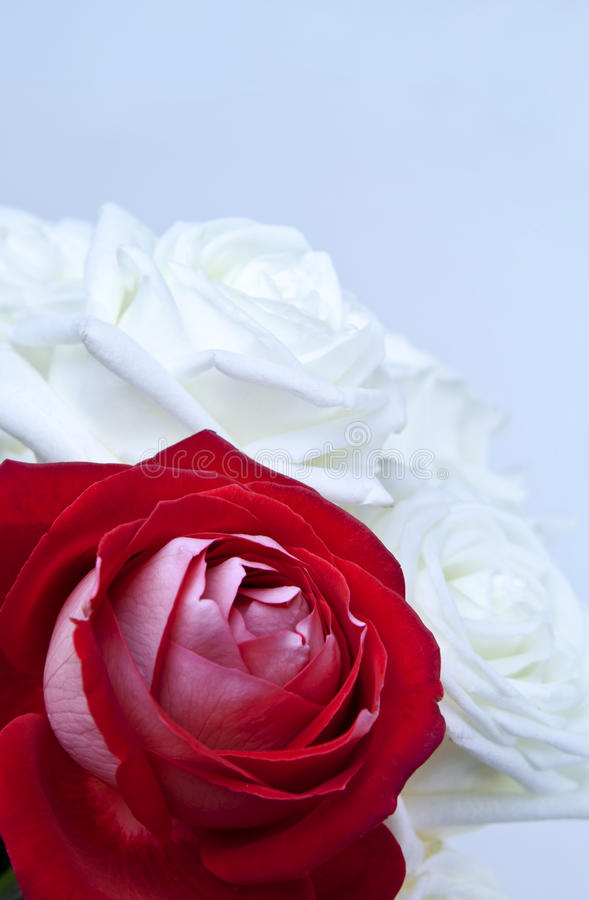 Download Roses stock photo. Image of valentine, beautiful, petals - 13483064