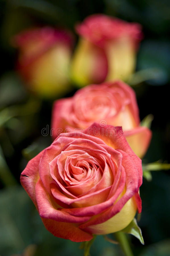 Roses. Growing roses in a garden royalty free stock photo