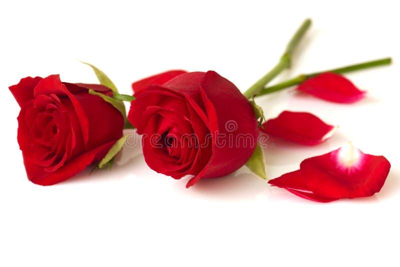 Roses. Image of roses on white background