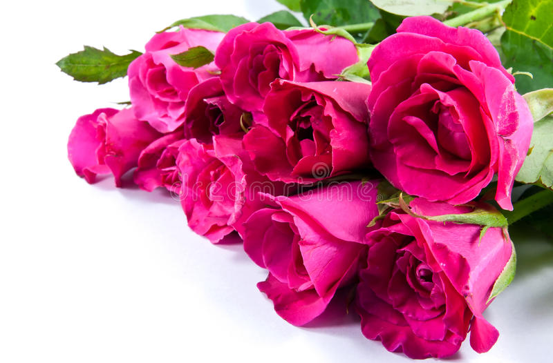 Roses. Picture of a roses with space left for copy stock images