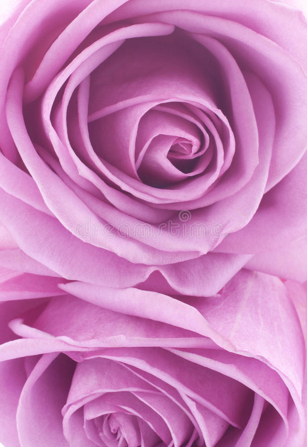 Download Roses Stock Photos - Image: 24124313