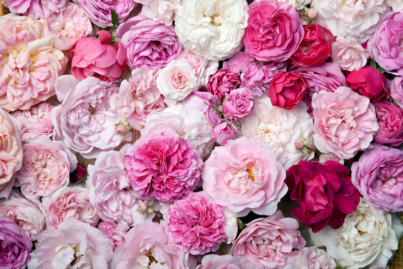 Roses. image stock