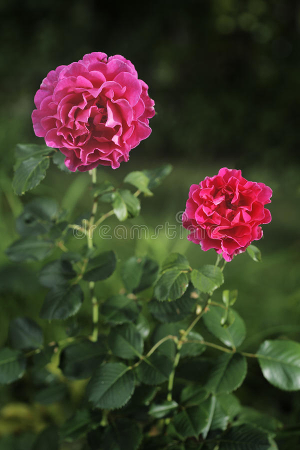 Roses image stock