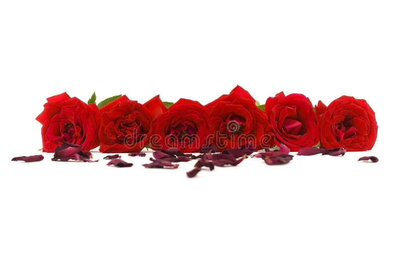 Roses. Six red roses on white background stock images