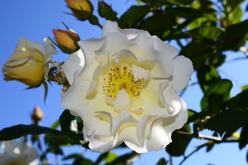 roses photo libre de droits
