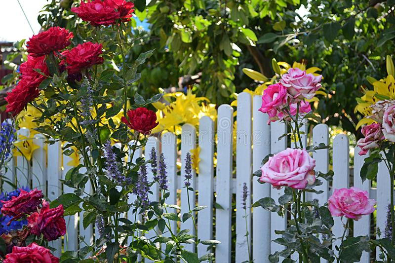 Summer mood. Roses add charm to any corner of the garden, but at the same time have a flexible nature that allows them to be used in different styles of the royalty free stock photography