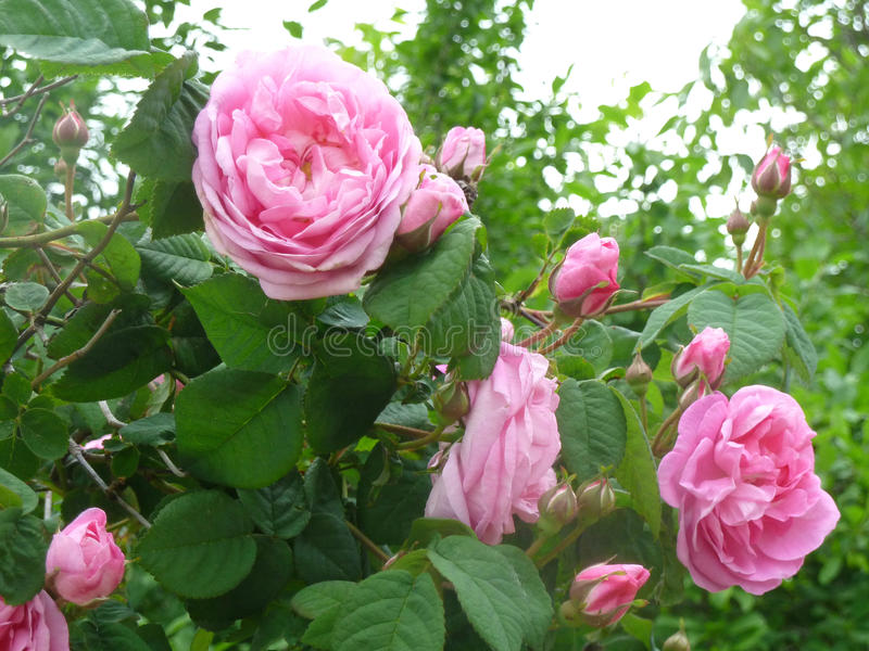Roses admirablement de floraison image libre de droits