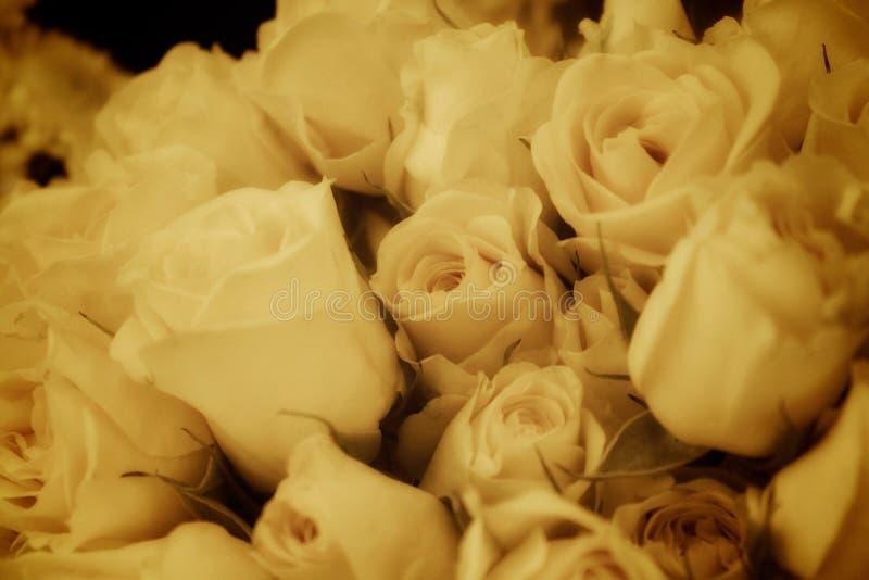 Roses antique white stock photo