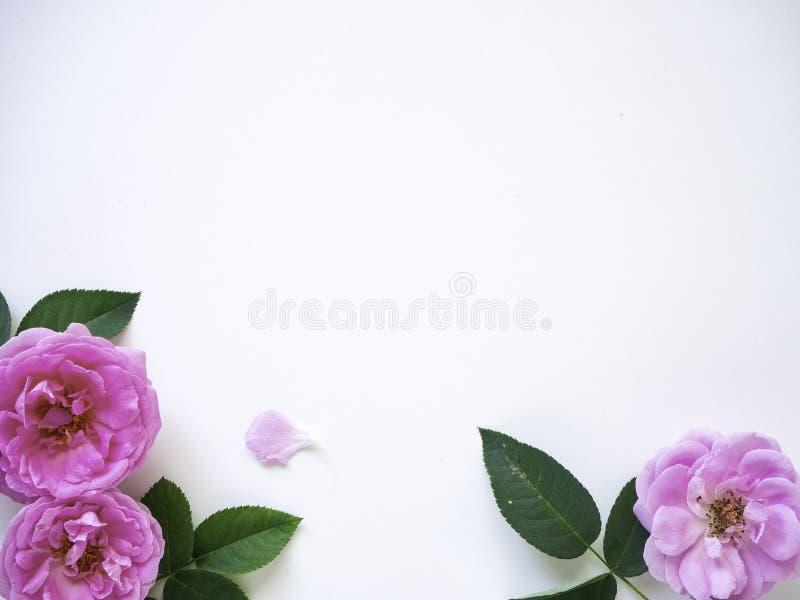 Roses roses avec des bourgeons sur un fond blanc photos libres de droits