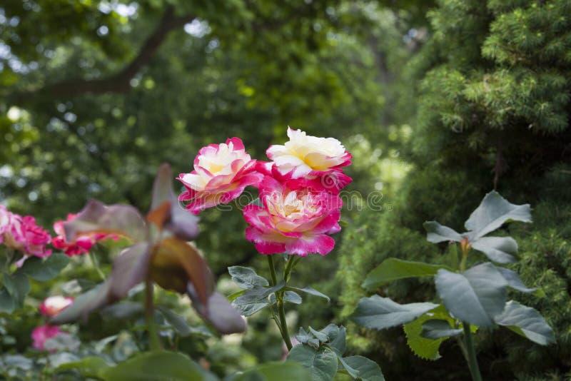 Roses avec la fontaine chez Merrick Rose Garden chez Merrick Rose Garde photos stock