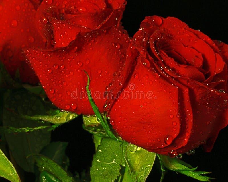 Roses avec le macro photographie stock libre de droits