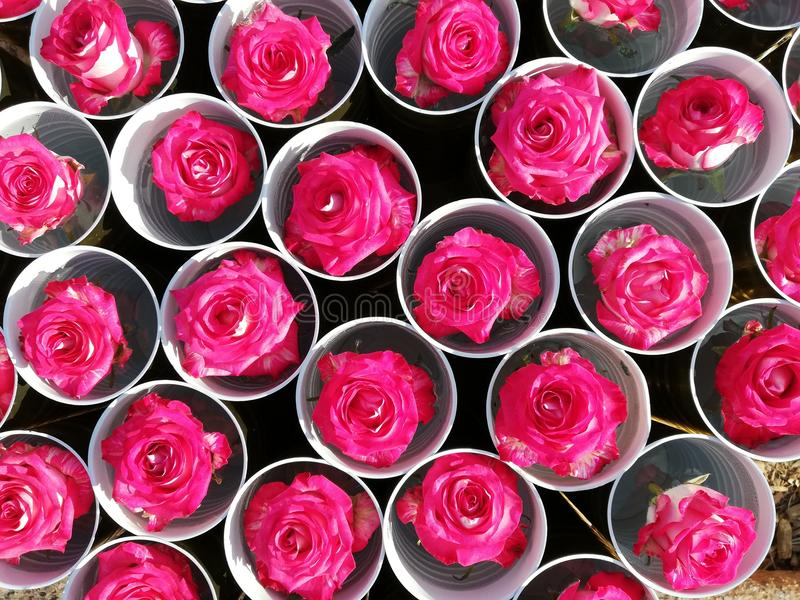 Roses Background. Colorful roses background wallpaper. stock image