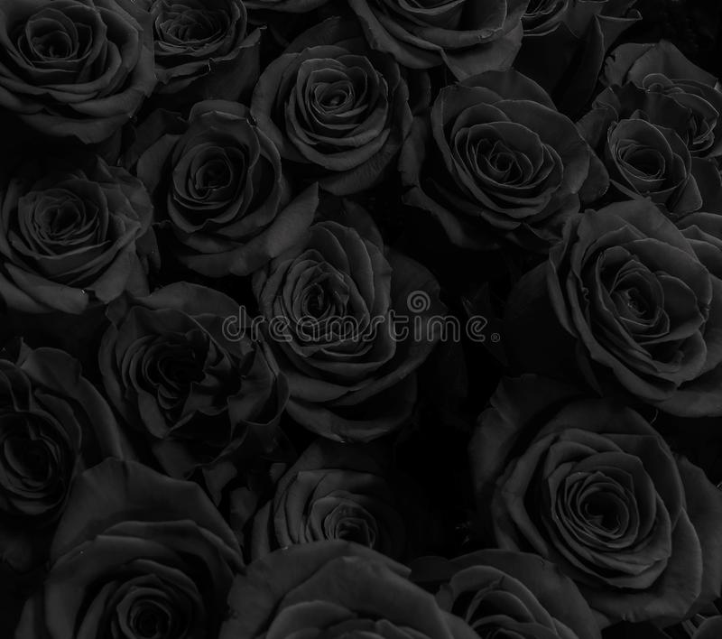 Roses background. Dark roses background. Greeting card with roses royalty free stock image