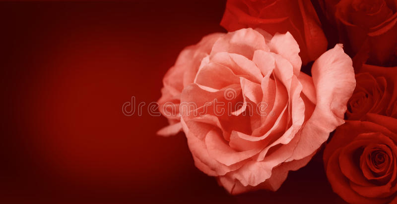 Download Roses banner stock photo. Image of pink, banner, bunch - 26803236