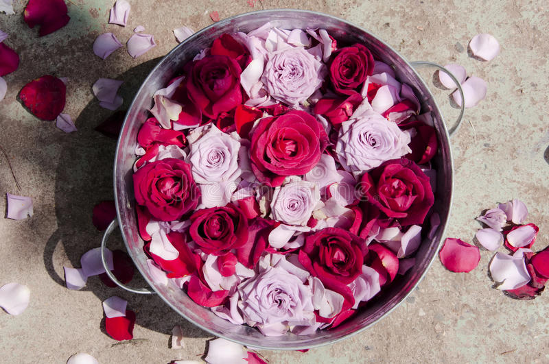 Download Roses in a basin stock image. Image of flower, scattered - 25624035
