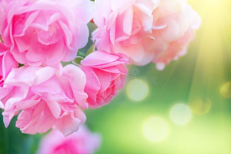 Roses. Beautiful pinkg rose blooming in summer garden. Pink Roses flowers growing outdoors royalty free stock images