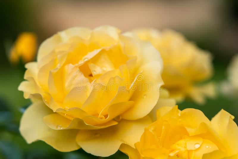Roses. Beautiful yellow roses with drops of water in the garden, soft green background royalty free stock image