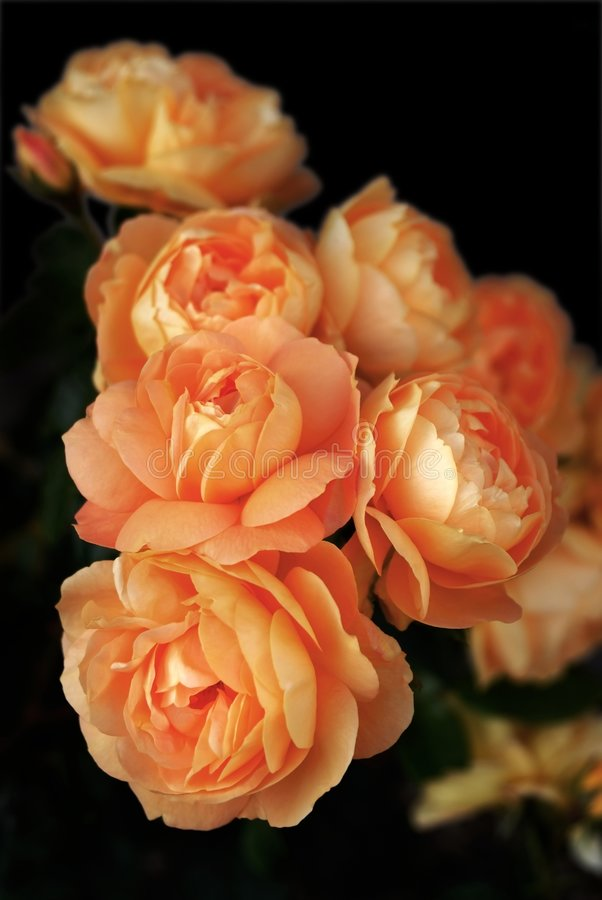 Roses on black stock image