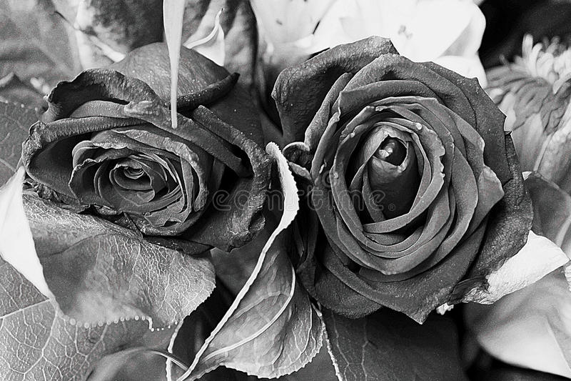 Roses black and white. A black and white photo of a couple of roses stock photography