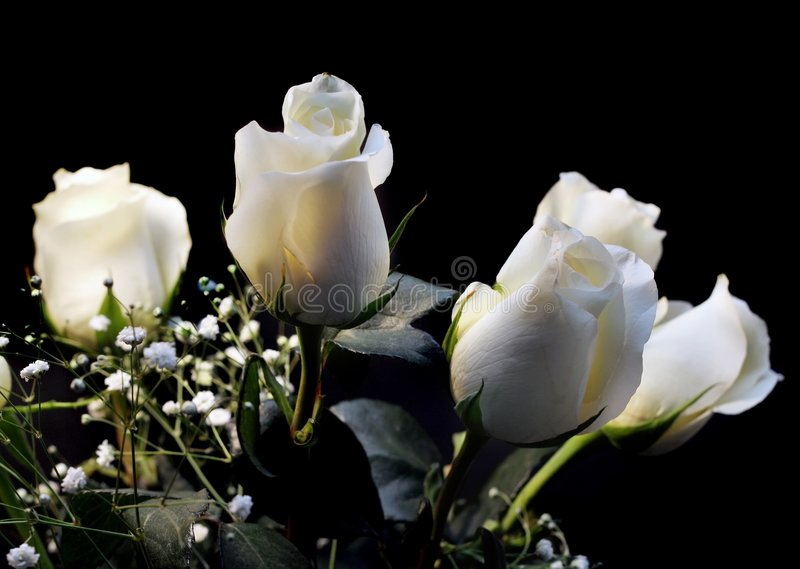 Roses blanches images stock